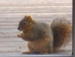 2006 Jan 21 Squirrel 2.jpg