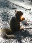 2009 Oct  Squirrel baby eating MY tomato.JPG