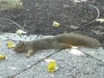 2009 Sep  Squirrel 01 spreadeagle.JPG