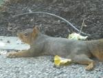2009 Sep  Squirrel 02 spreadeagle.JPG