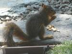 2009 Sep  Squirrel  baby eating nuts.JPG