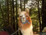Highlight for Album: Llama Day Hike