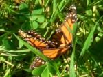 Highlight for Album: 2009 Jan Monarch Butterflies