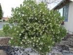 2011 Feb 16 San Ramon 04 manzanita in bloom.JPG
