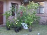 2011 Nov 11th Punta bushes for front yard.JPG