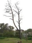 2011 Oct 15th Punta 01 tree fell in wind storm.JPG