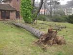 2011 Oct 15th Punta 02 tree fell in wind storm.JPG