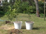 2011 Oct 26th Punta fruit trees planted in pots.JPG