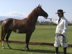 2011 Nov 5th Cafeyate 04 Peruvian horse.JPG