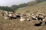 04 Jan Briones goats1.JPG
