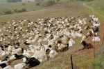 04 Jan Briones goats2.JPG