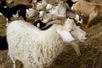 04 Jan Briones goats3.JPG