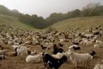 04 Jan Briones goats5.JPG