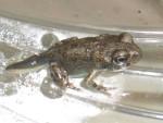 05 July 01 Toads 03.jpg