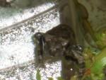 05 July 01 Toads 07.jpg